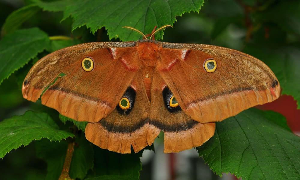 Polyphemus-Moth-The-High-Fin-Sperm-Whale, CC BY-SA 3