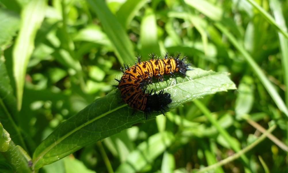 baltimore-checkerspot-caterpillar
