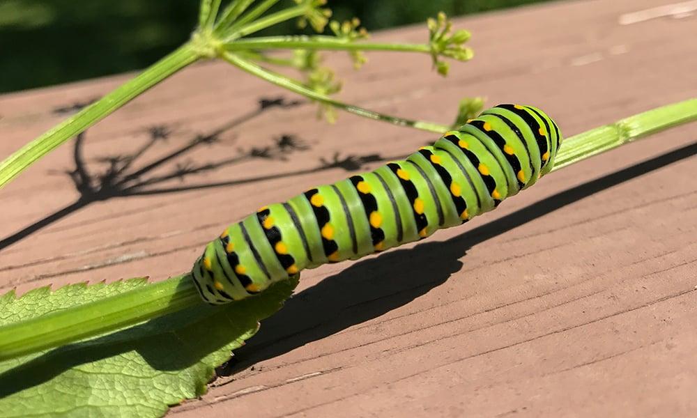 black-swallowtail-caterpillar-Dean
