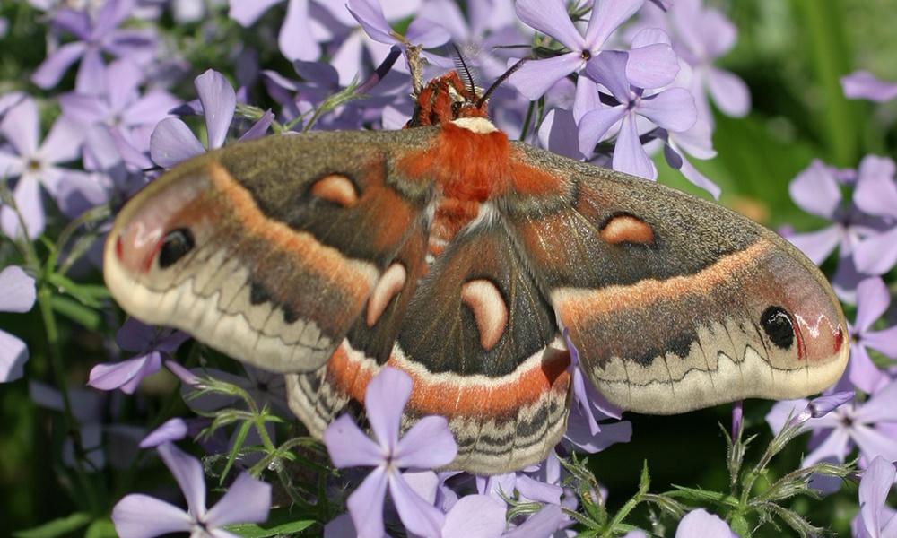 cecropia-moth-Hyalophora-cecropia