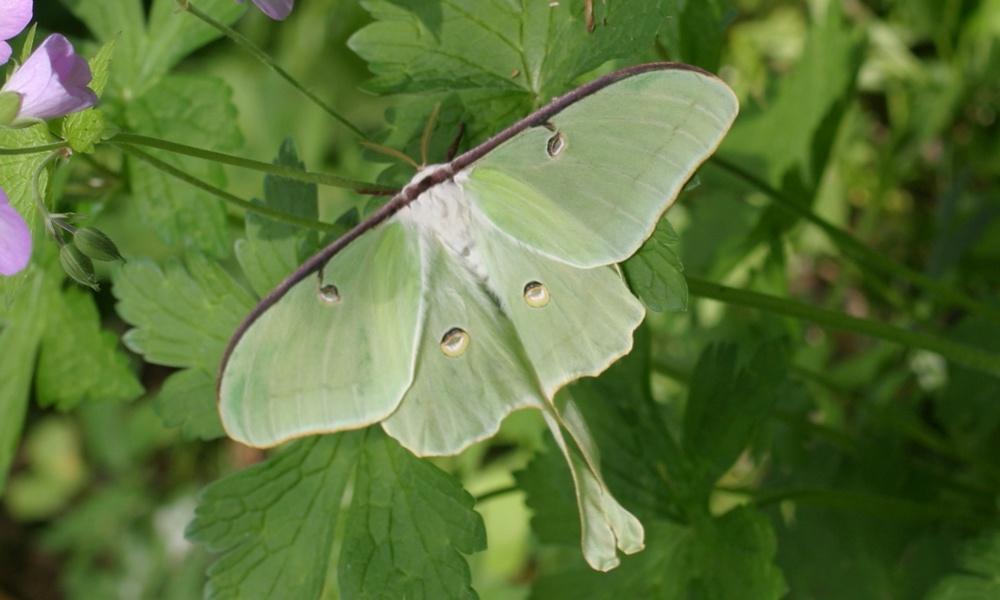 luna-moth-Actias-luna