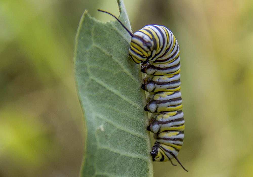 monarch-caterpillar-2
