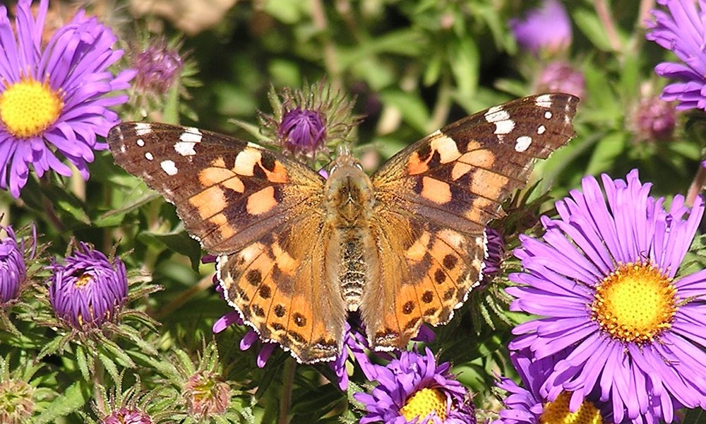 painted-lady-Vanessa-cardui
