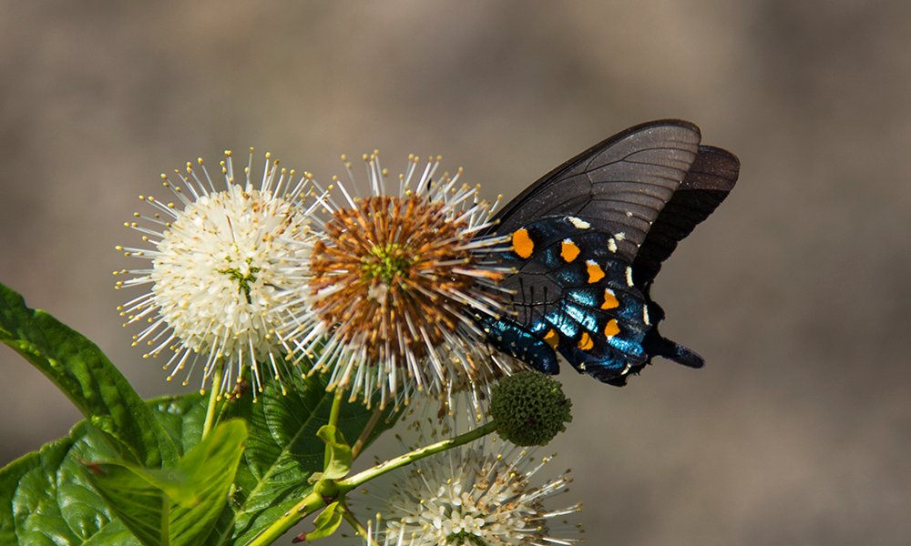 pipevine-butterfly-1000x600-dh