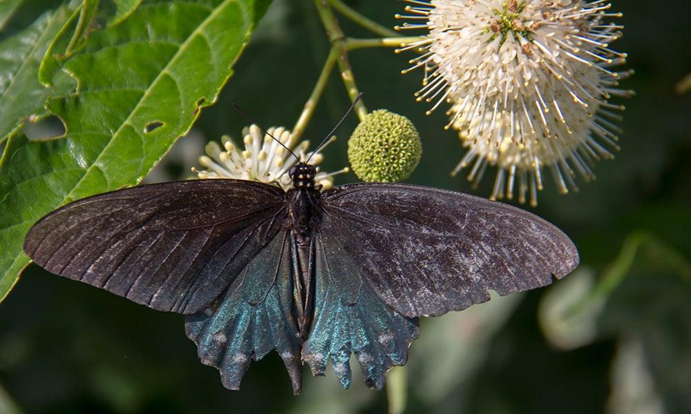 pipevine-swallowtail-dh