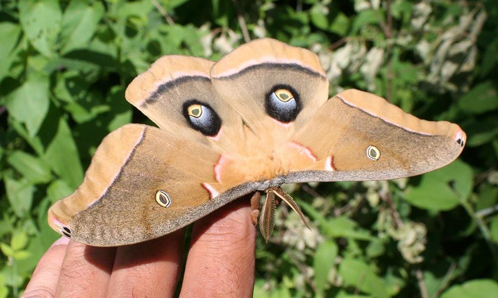 polyphemus-moth-Antheraea-polyphemus
