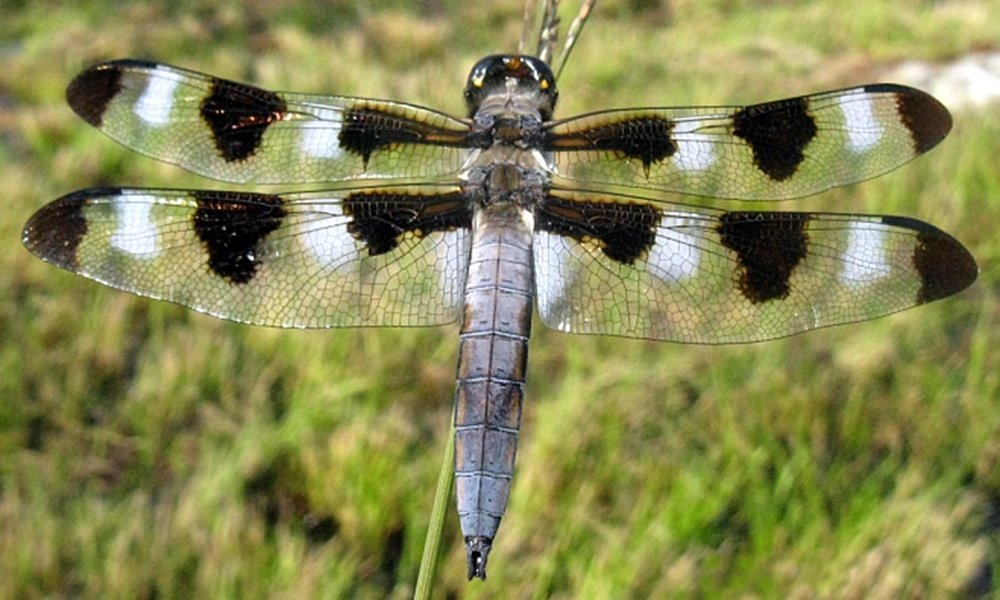 12-spotted-skimmer-male-PaulBedell