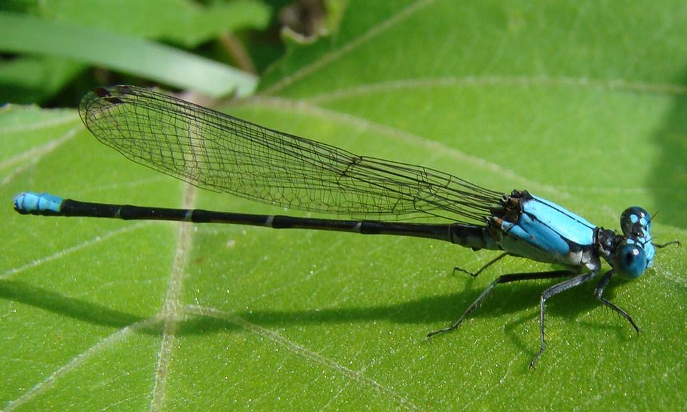 blue-fronted-dancer-male-LeeElliott