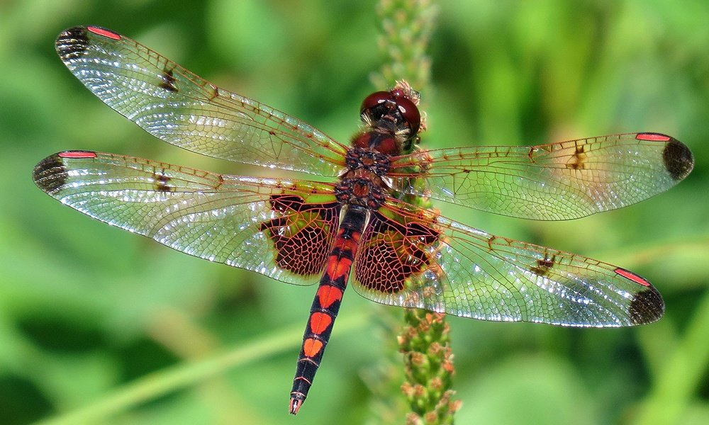 calico-pennant-male-NickBlock