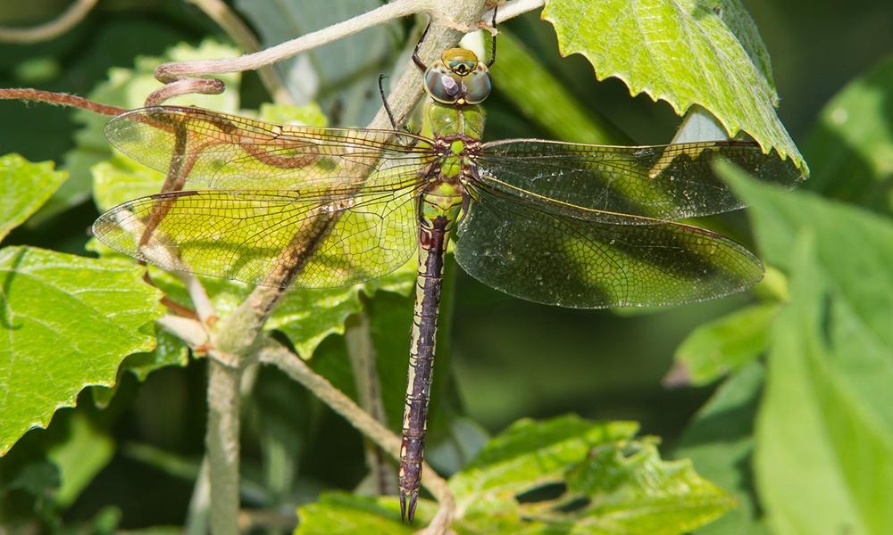 common-green-darner-female-GregLasley