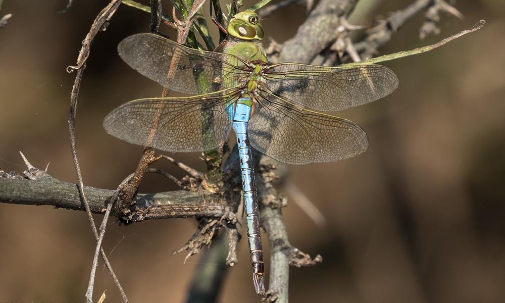 common-green-darner-male-GregLasley