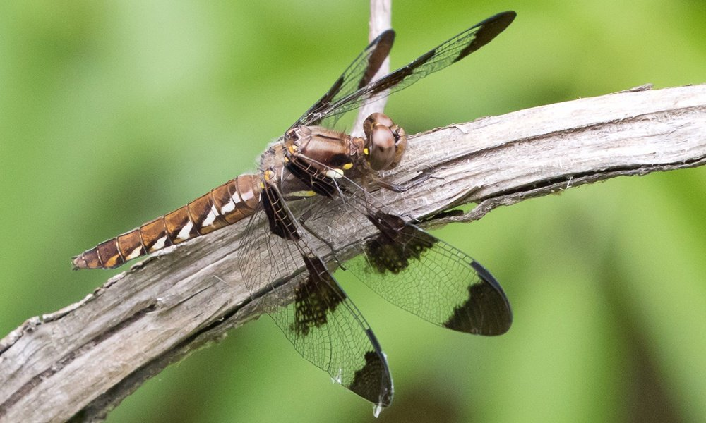 common-whitetail-female-GregLasley