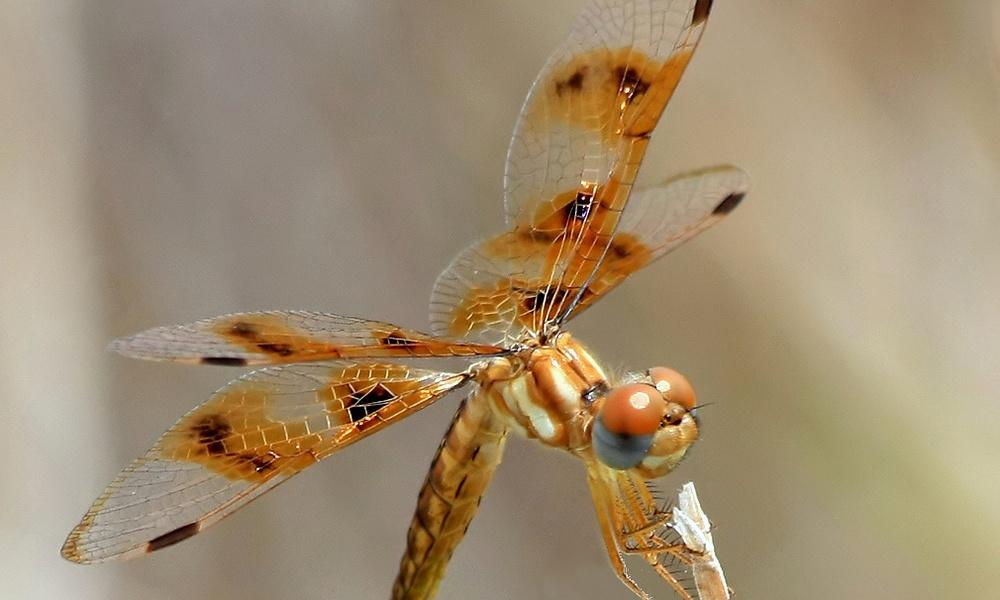 eastern-amberwing-female-KenSlade