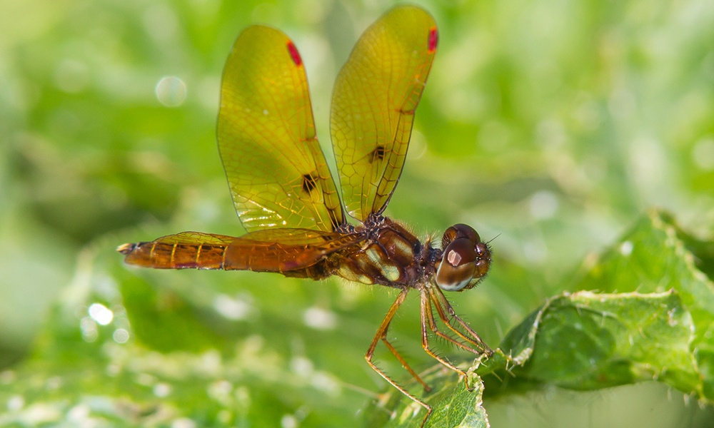 eastern-amberwing-male-GregLasley