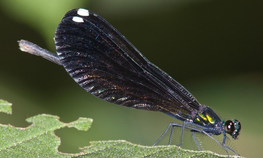 ebony-jewelwing-female-GreyLasley