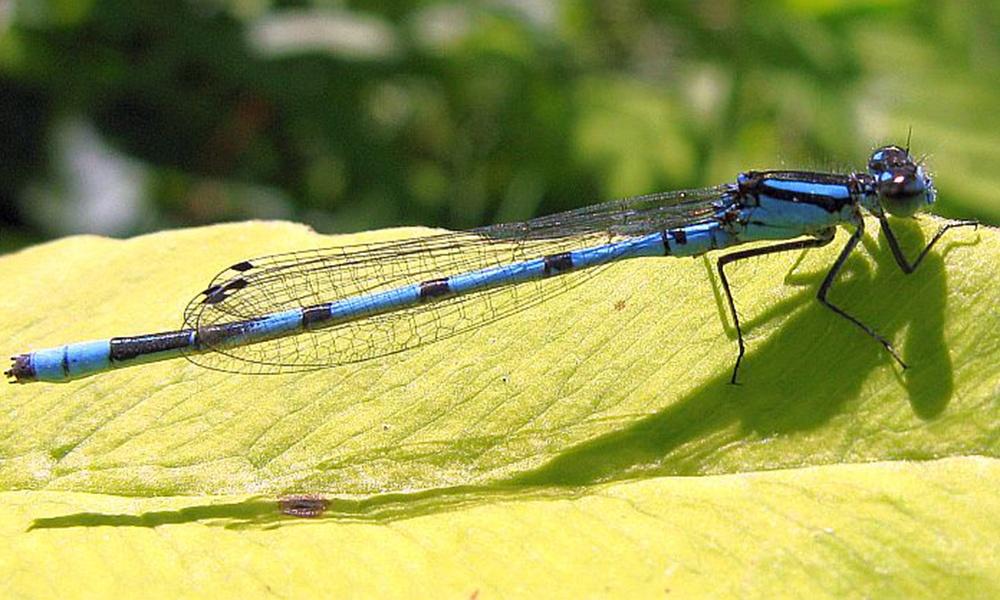 marsh-bluet-male-PaulBedell