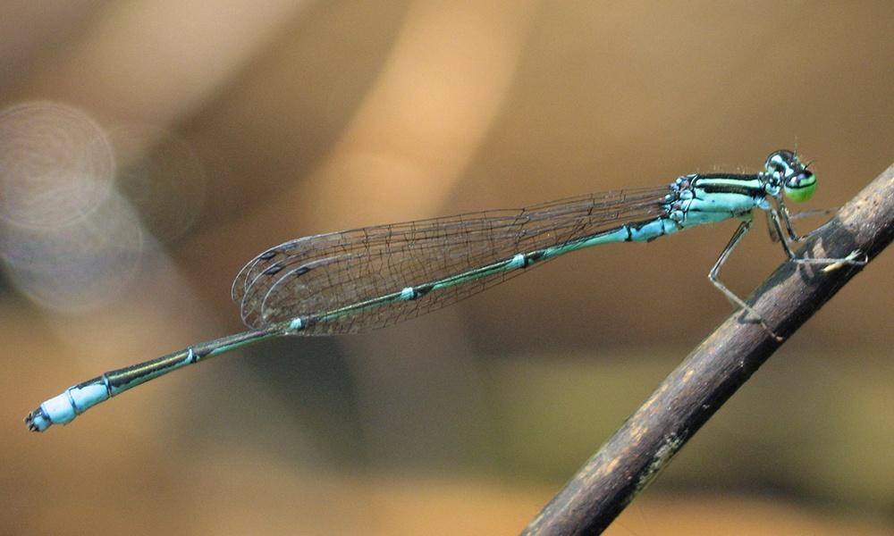 stream-bluet-male-LisaBrown