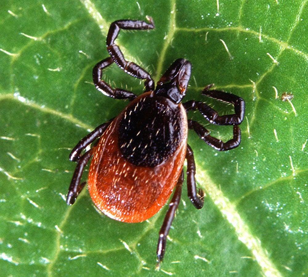 black-legged-tick-Scott Bauer-USDA