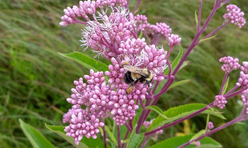 bombus-affinis-II
