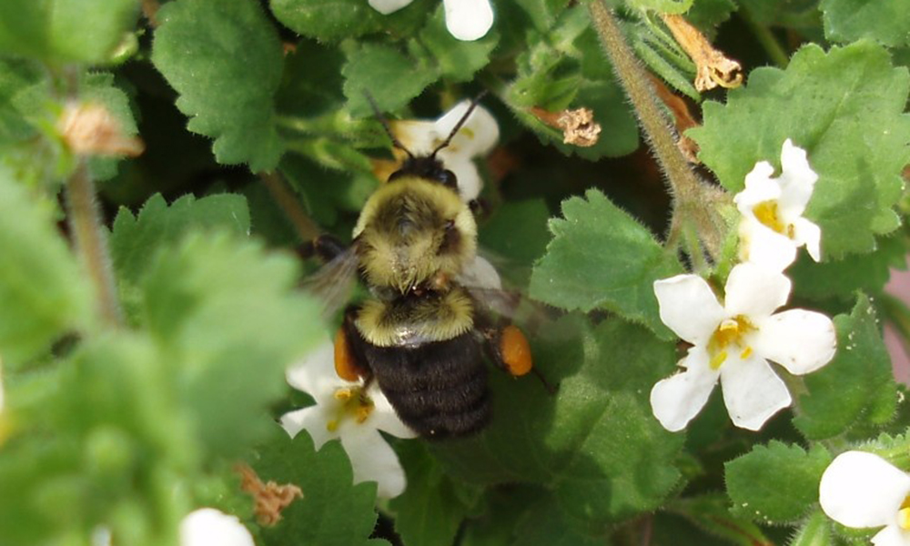 common-eastern-bumble-bee-Bombus-impatiens-worker-CarlS