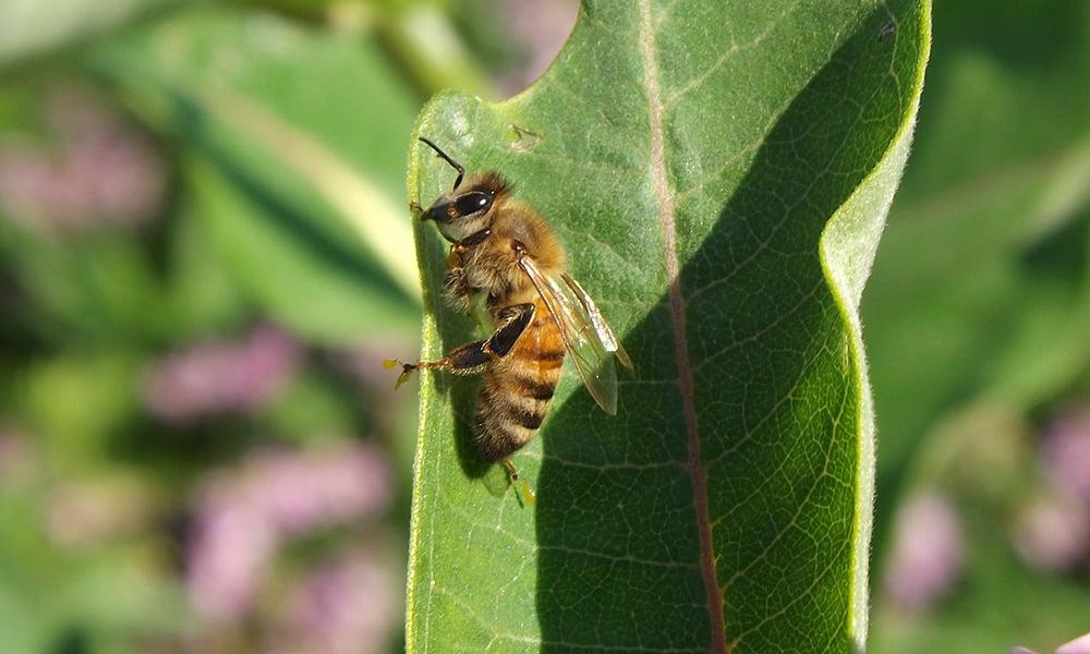 common-western-honey-bee-Apis-mellifera-2015-BioBlitz-DAA-GeraldDavidson