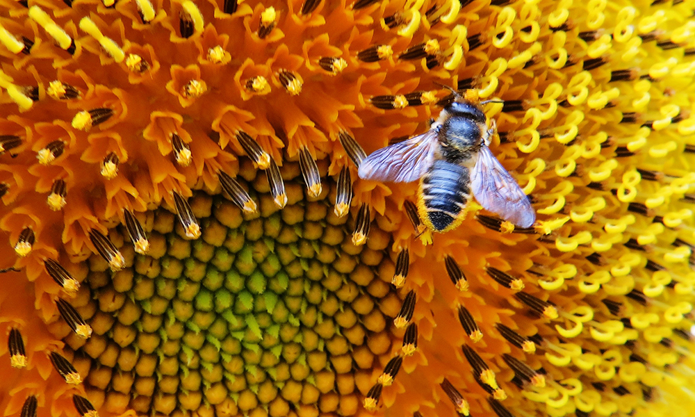 leafcutter-bee-1000x600
