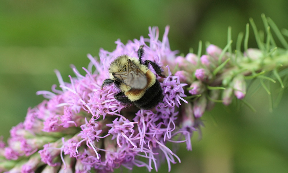 rusty-patched-bumble-bee
