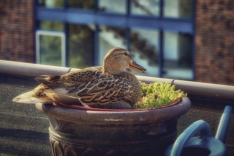 Duck on balcony