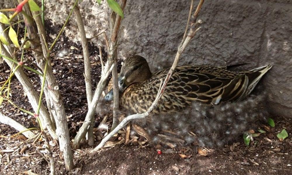 Mallard-on-nest