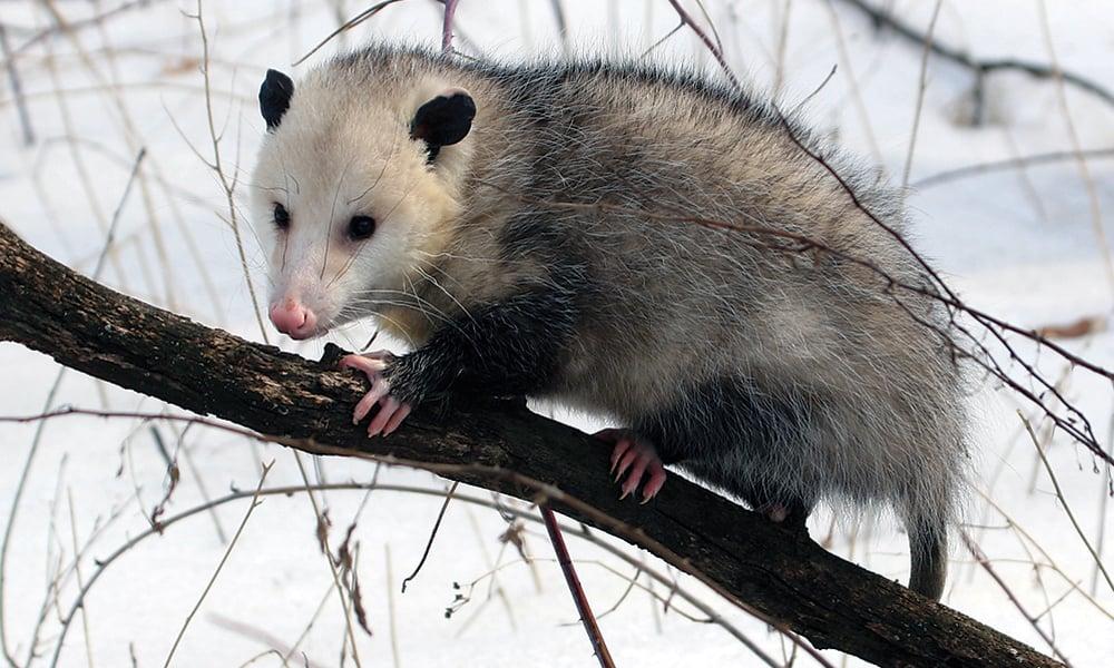 Opossum-1000x600