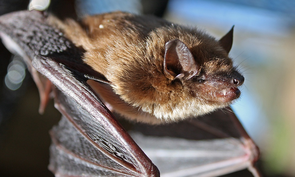 little-brown-bat-vailbass