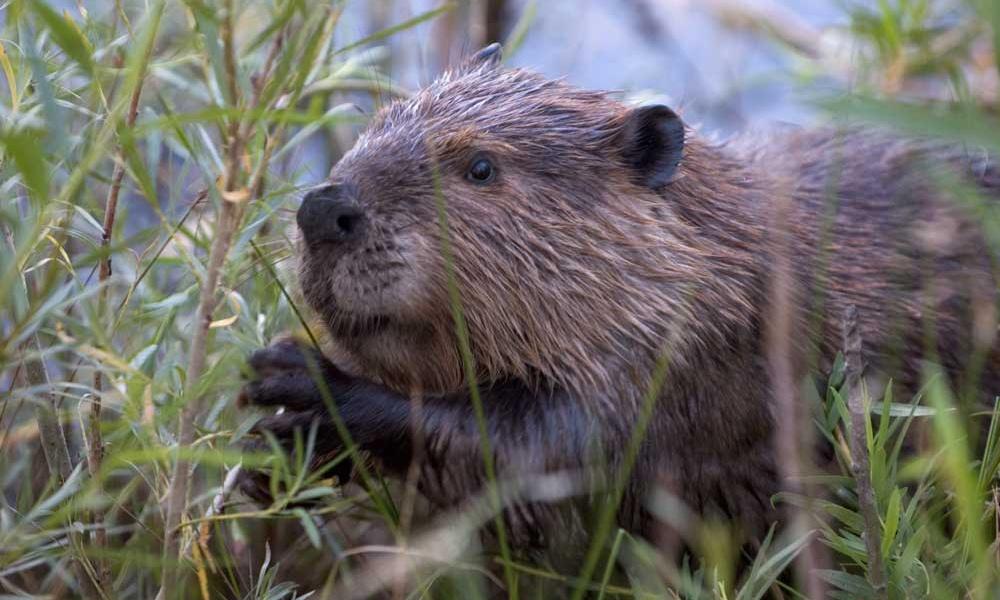 Beaver-Szmurlo-wikimediacommons