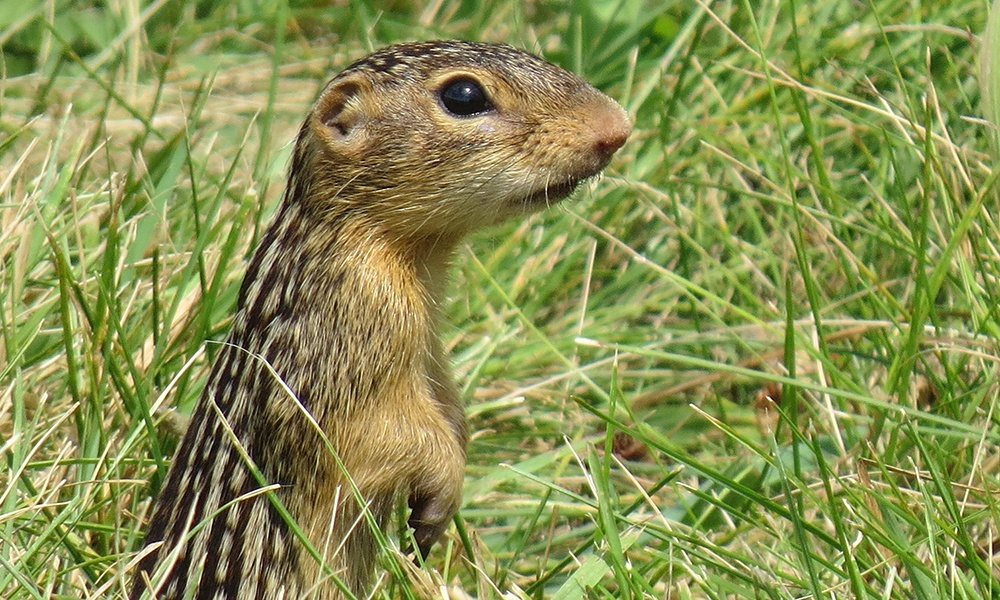 13-lined-ground-squirrel