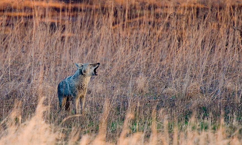 coyote-DavidDavis