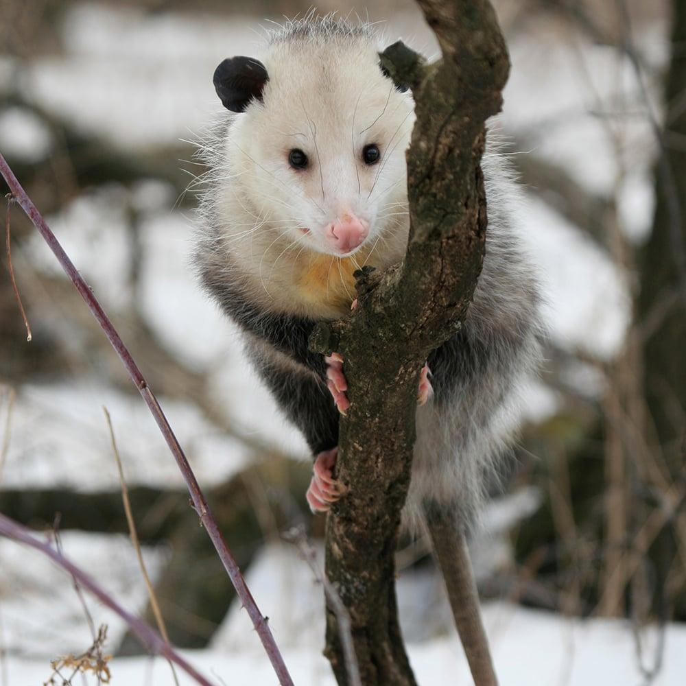 opossum-1000x1000