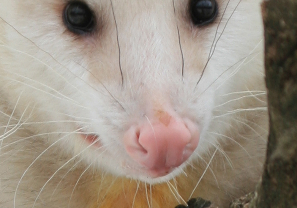 opossum-nose