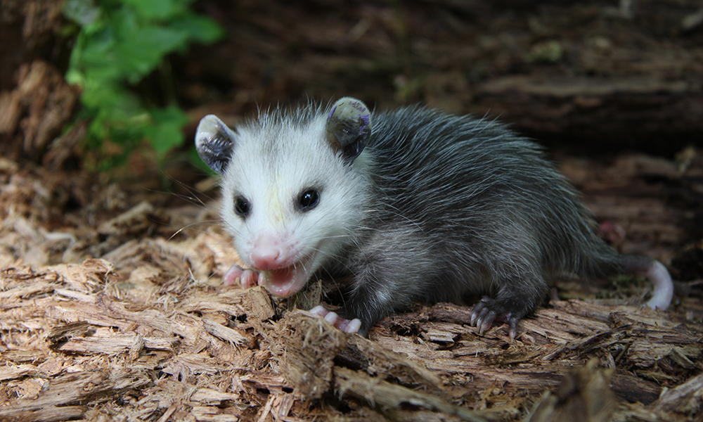 young-opossum-1000x600