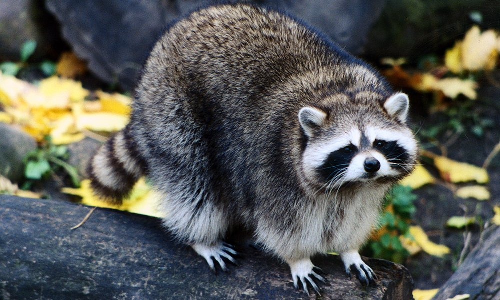 Raccoon-1000x600