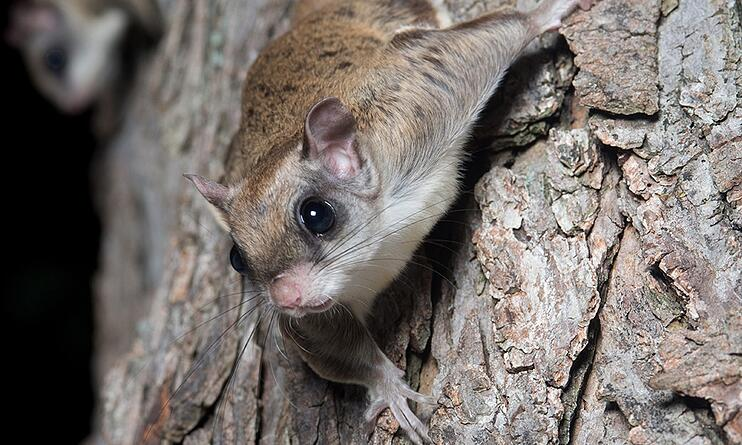 southern-flying-squirrel-iStockcomEEITony