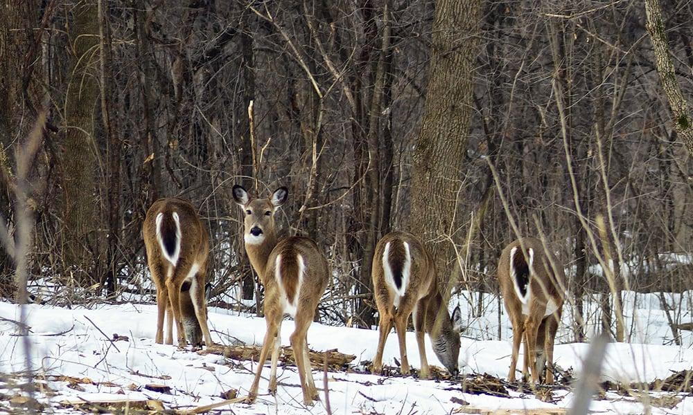 McDowell-Grove-deer-1000x600