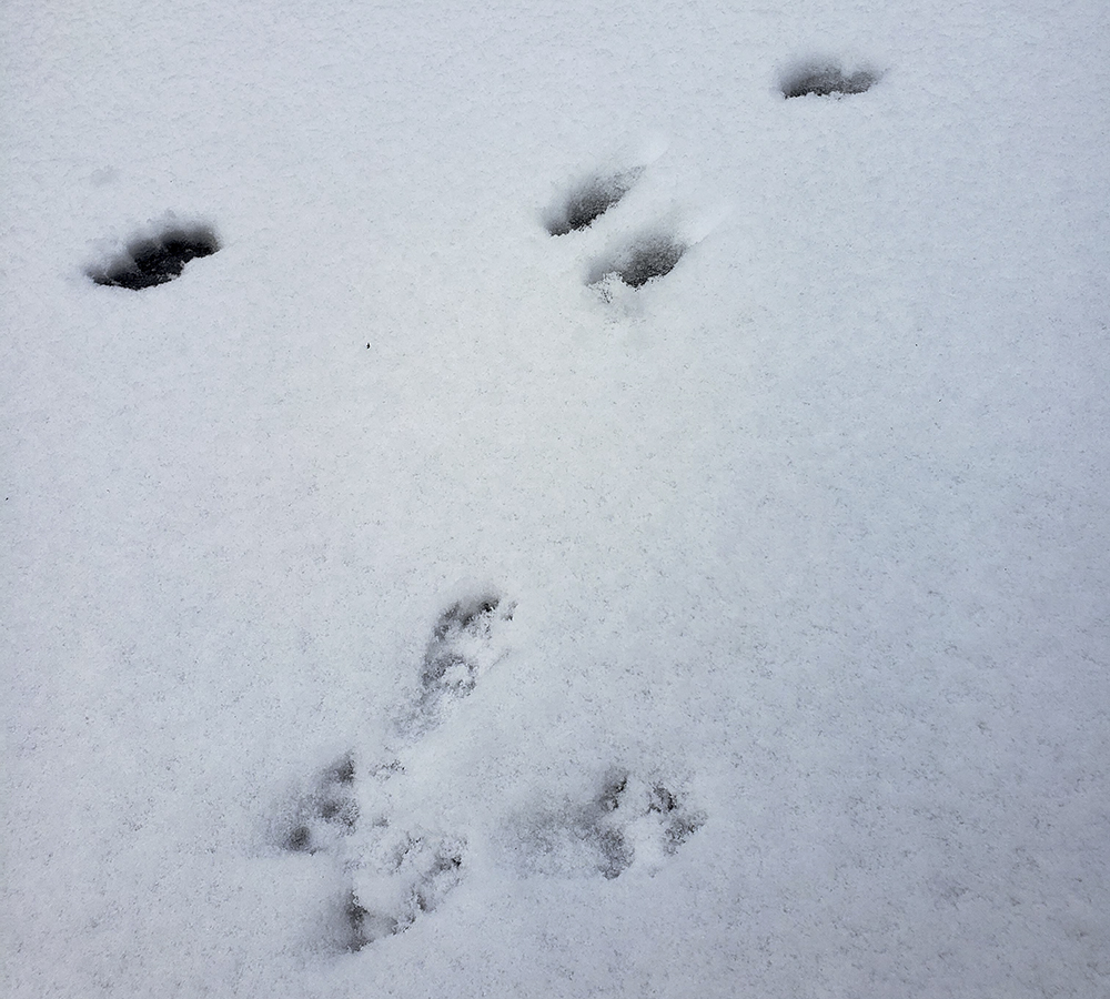 Squirrel-and-rabbit-tracks
