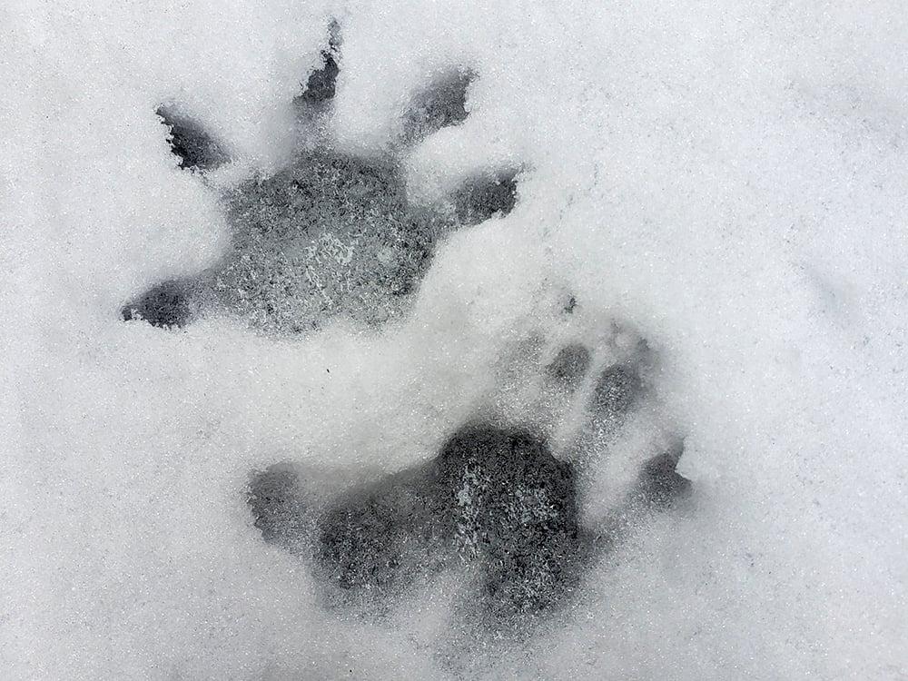 opossum-tracks