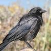 american-crow