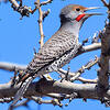 northern-flicker