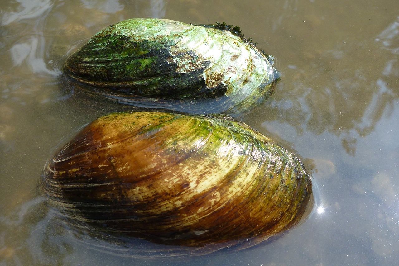 aquatic-illinois-mussels-stream-feature