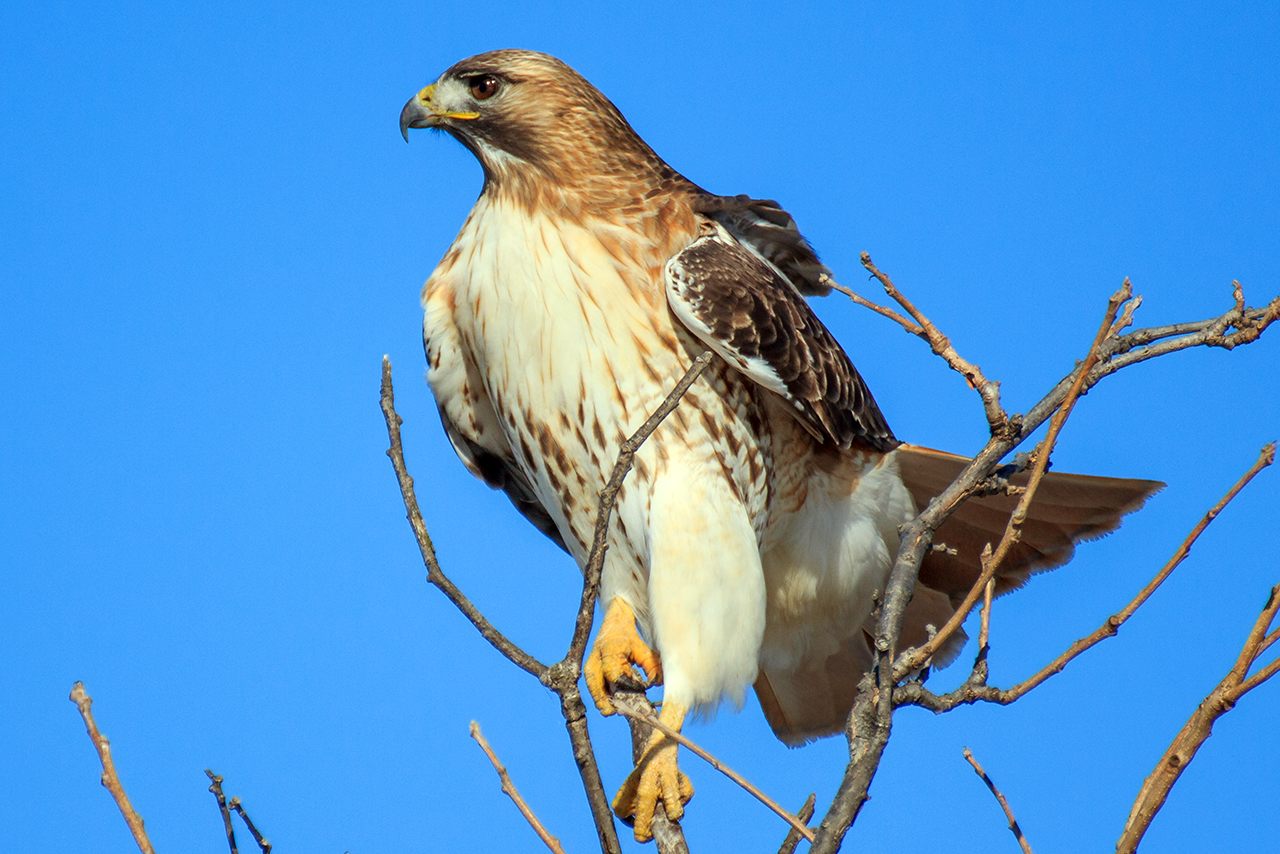 illinois-birds-red-tail-hawk-feature