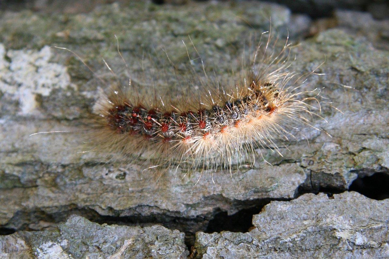 illinois-invasive-gypsy-moth-caterpillar-feature