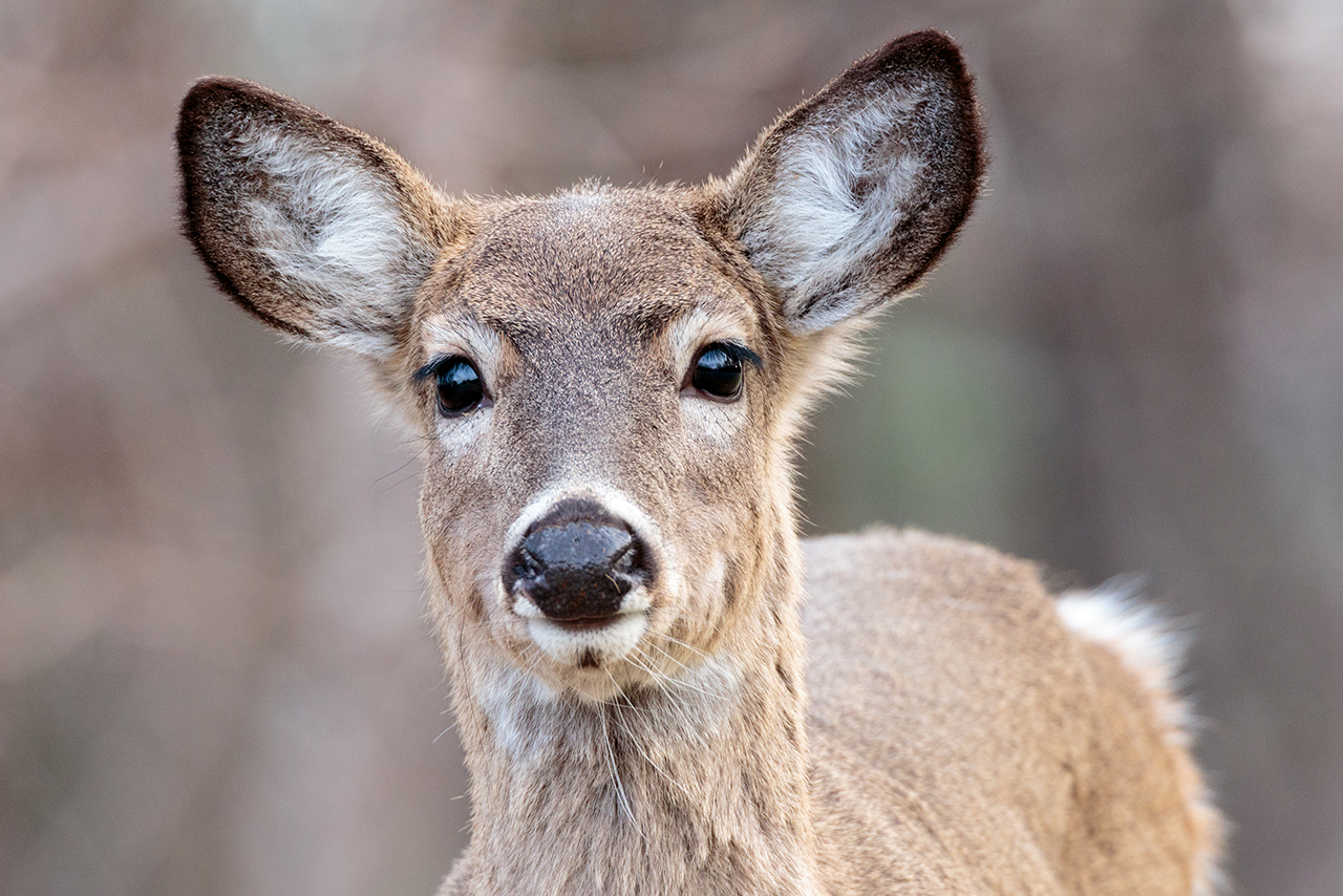 white-tailed-deer-shanendoah-national-park-feature