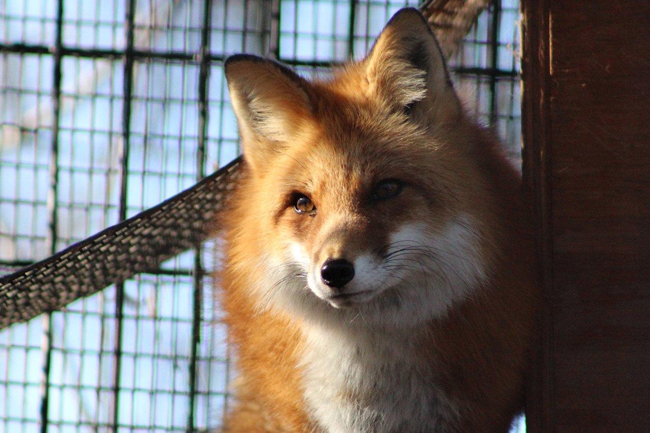 willowbrook-wildlife-center-red-fox-feature