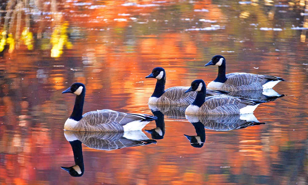 canadian-geese-water-fall-reflections.jpg